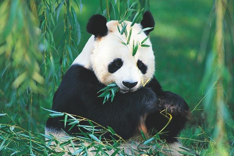 ¿Qué Comen Los Osos Pandas?