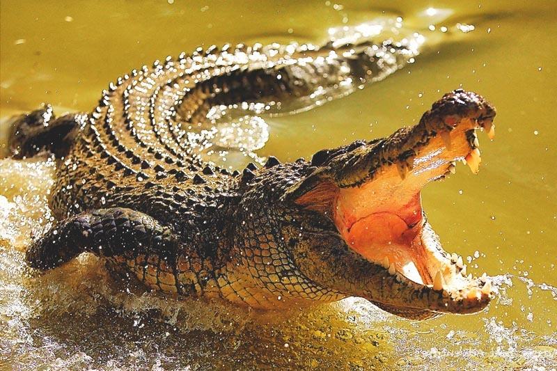 Que come el cocodrilo