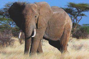 ¿Qué come el elefante?