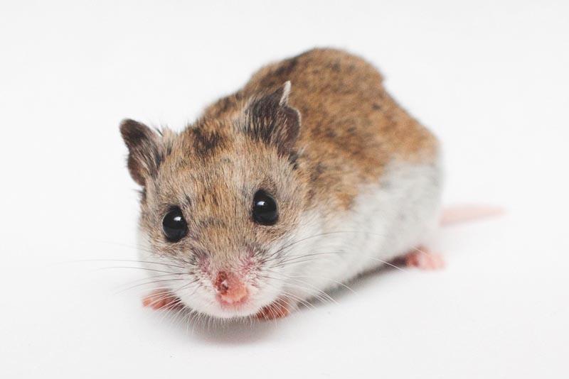 Que come el hamster