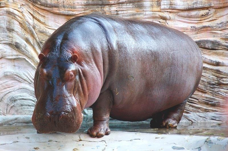 Que come el hipopotamo