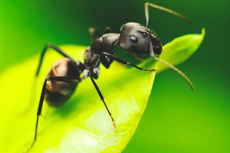 Que come la hormiga