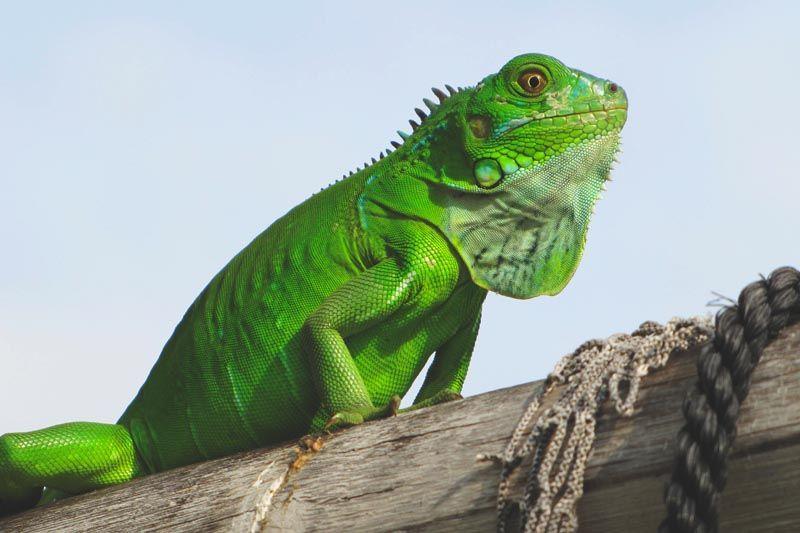 Que come la iguana