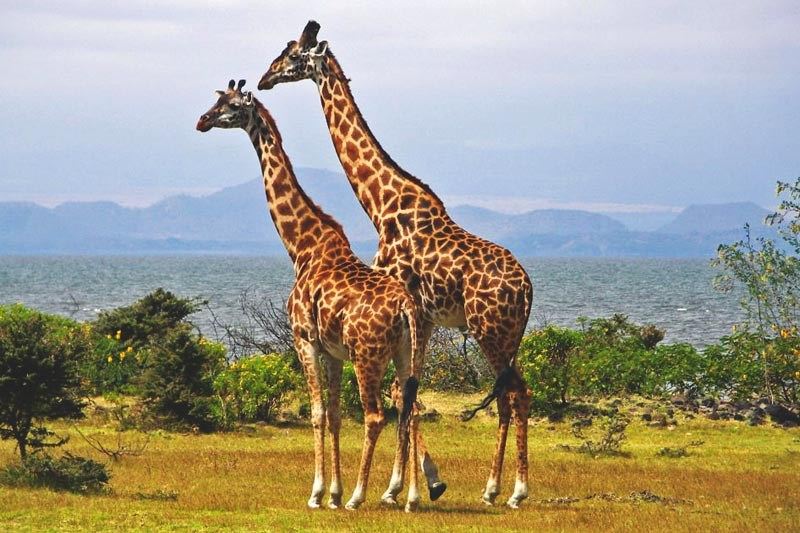 Que come la jirafa
