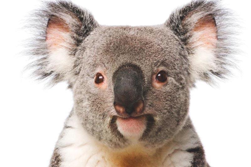 Que come el koala
