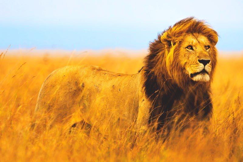Que come el leon