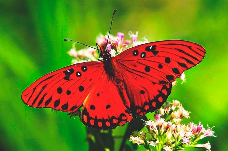 Que come la mariposa