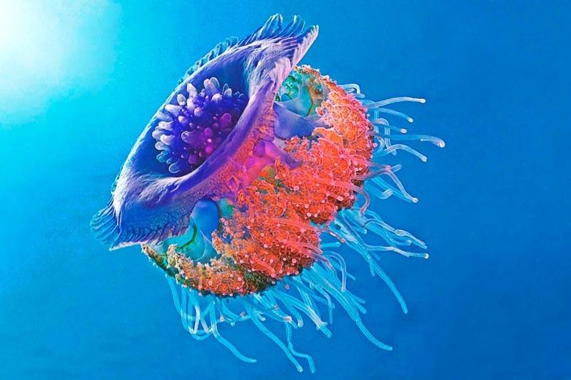 Que come la medusa