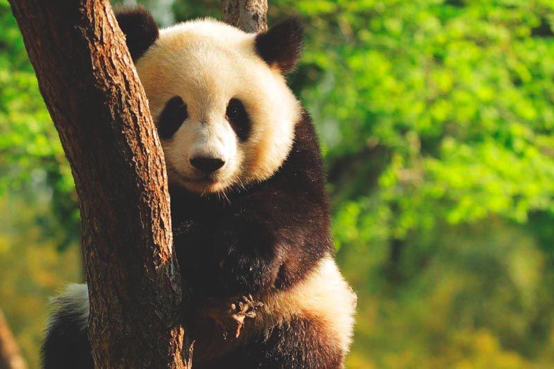 Que come el oso panda