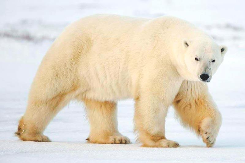 Imagenes De Osos Polares: Imagenes Oso Polar 191 Qu 233 Comen Los Osos Polares