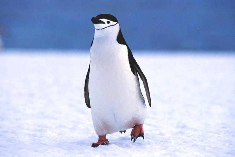 Que come el pingüino