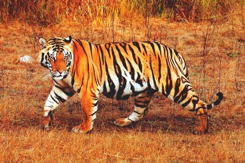 Que come el tigre
