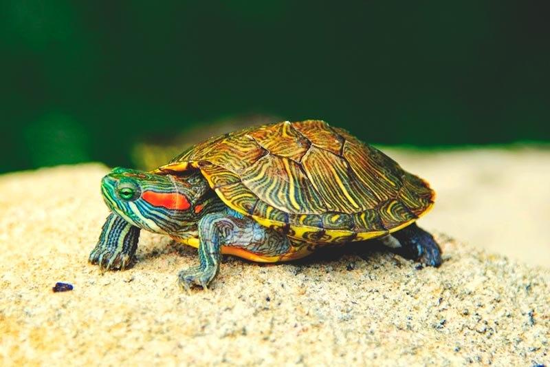 Que come la tortuga