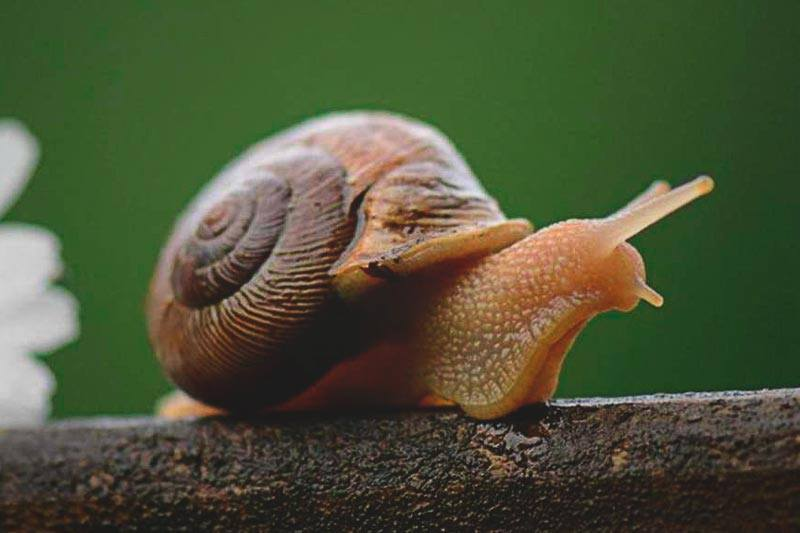 Qu comen los caracoles for Caracoles de jardin que comen