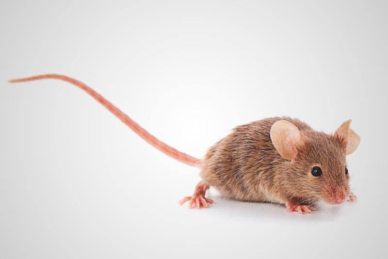 ¿Qué comen los ratones?