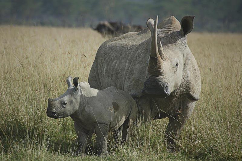 ¿Qué comen los rinocerontes?