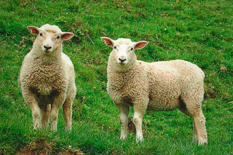 Qu comen las ovejas