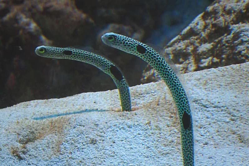 ¿Qué comen las anguilas?