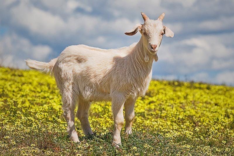 ¿Qué comen las cabras?