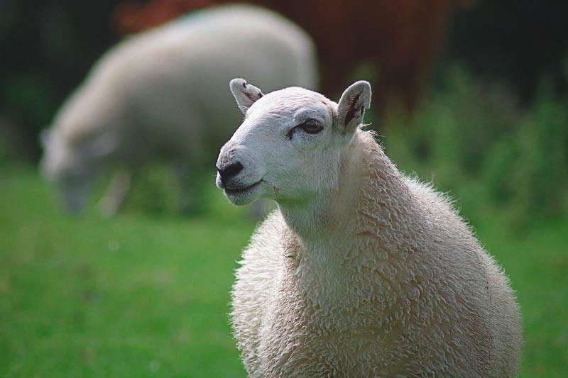 ¿Qué comen las ovejas?