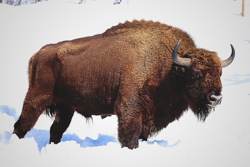 ¿Qué come el bisonte?