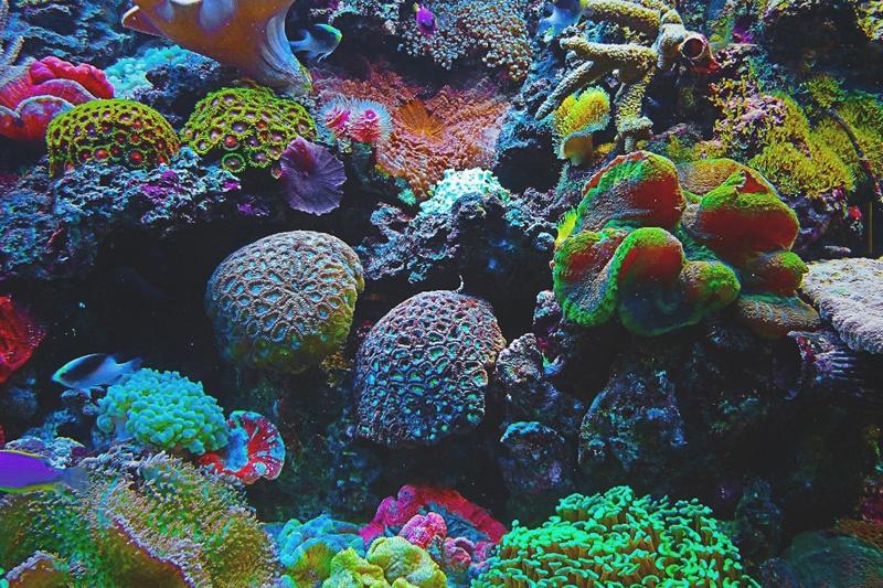 Qué comen los corales?