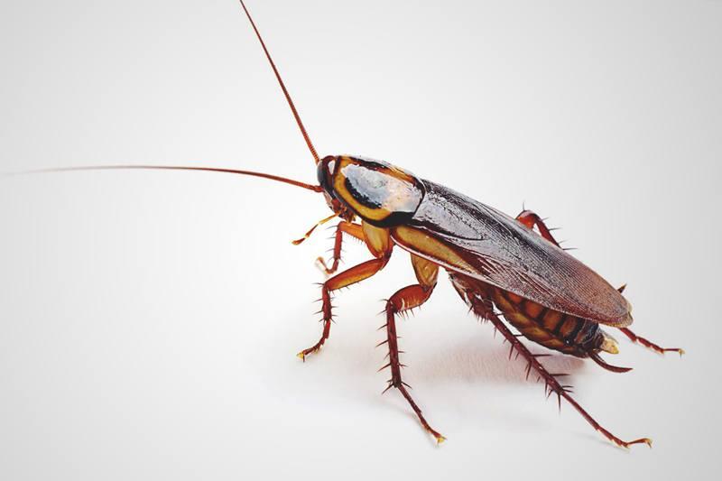 Qu comen las cucarachas for Como eliminar cucarachas del desague