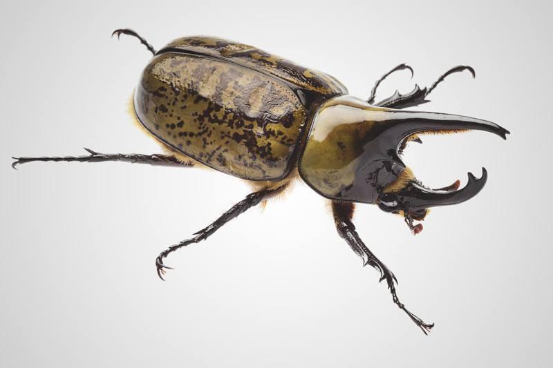 ¿Qué comen los escarabajos?