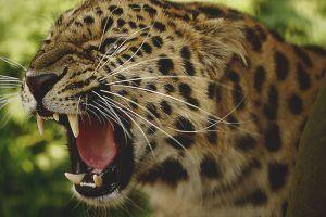 ¿Qué comen los leopardos?