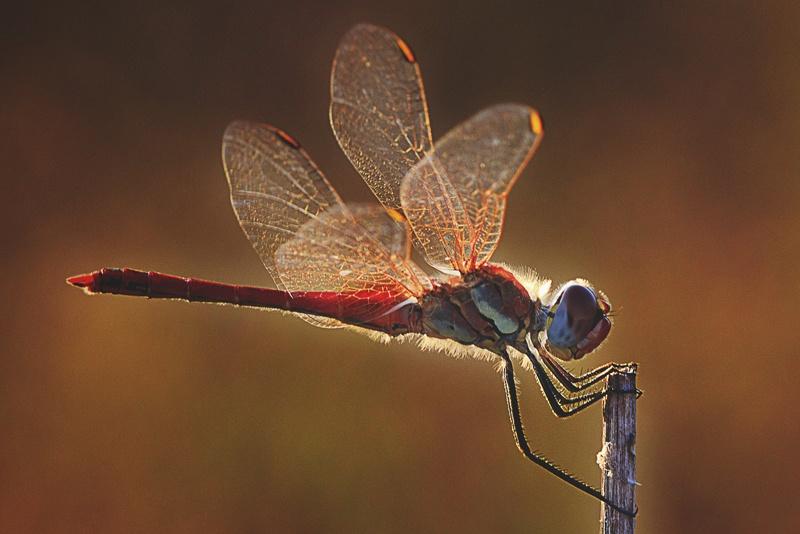 ¿Qué comen las libélulas?