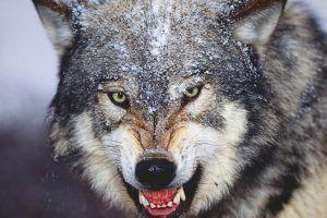 ¿Qué comen los lobos?