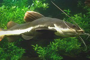 ¿Qué comen los peces gato?