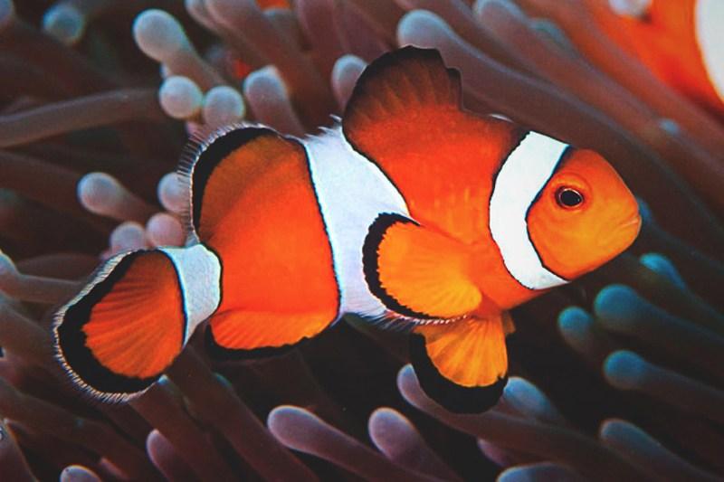 ¿Qué comen los peces payaso?