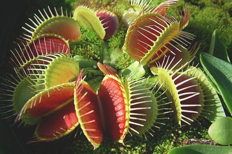 ¿Qué comen las plantas carnívoras?