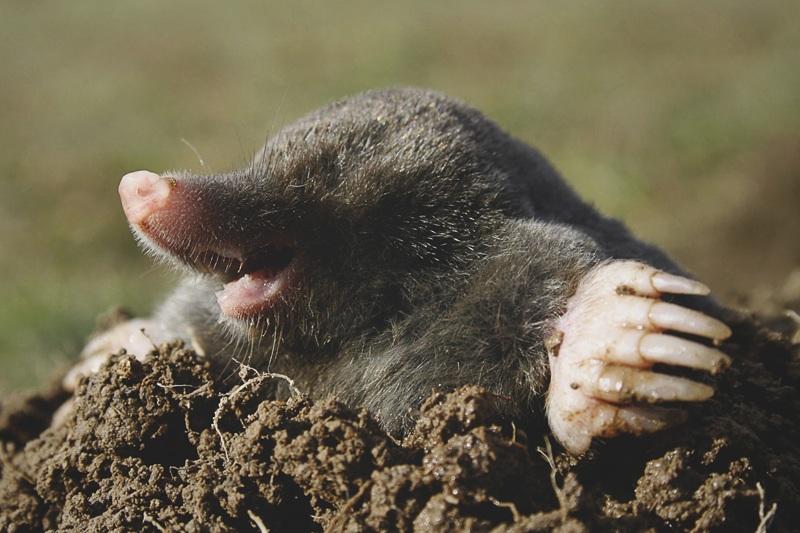 ¿Qué comen los topos?