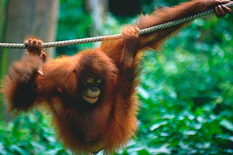 Oranguntán