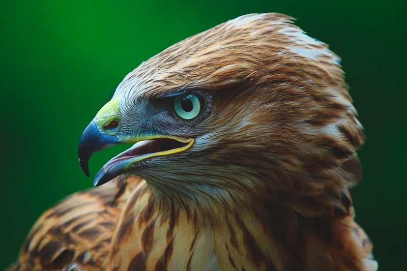Resultado de imagen para el halcón