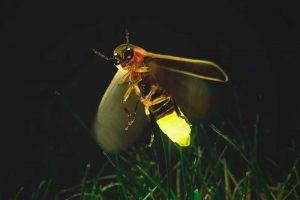 ¿Qué come la luciérnaga?