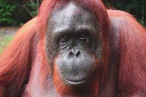 ¿Qué come el oranguntán?