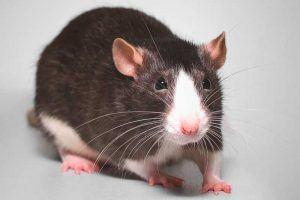 ¿Qué come la rata?
