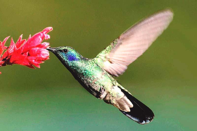 ¿Qué come el colibrí?