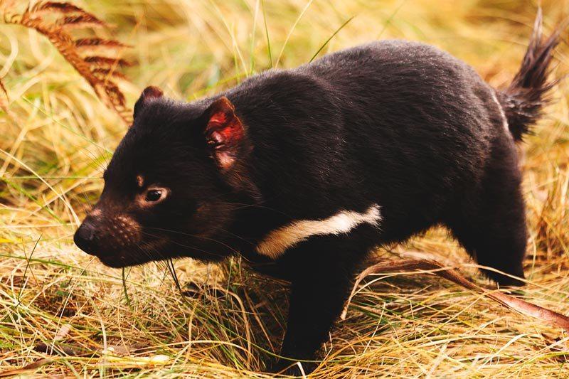¿Qué come el dominio de Tasmania?