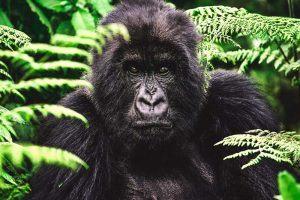 ¿Qué come el gorila?