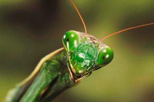 ¿Qué come la mantis?