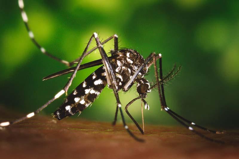¿Qué come el mosquito?