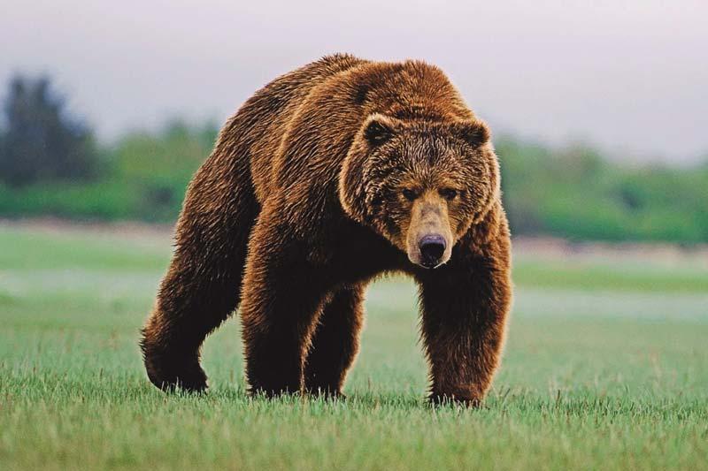¿Qué come el oso pardo?