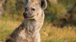 ¿Qué comen las hienas?