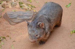 ¿Qué comen los wombats?